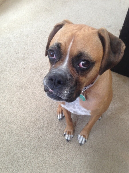 Jade the Boxer