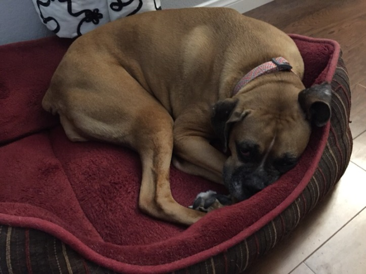 Jade the Boxer curled up in her dog bed