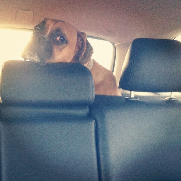 Jade The Boxer in the back of the car